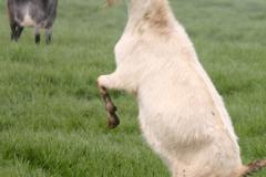 1.Goat-1web
