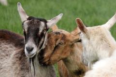 1.Goat-2web