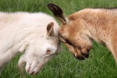 1.Goat-3web